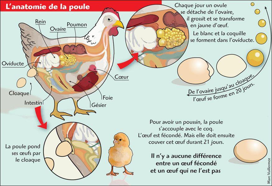 Anatomie Poule anatomie de la poule formation de l'œuf | ecole des grands