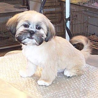 Sammy Is A Shih Tzu Clipped To A Length Of Half An Inch Including His Tail His Ears Are Trimmed Short Shih Tzu Grooming Shih Tzu Shih Tzu Haircuts