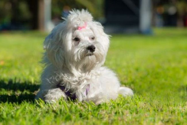 non shedding hypoallergenic dogs breeds