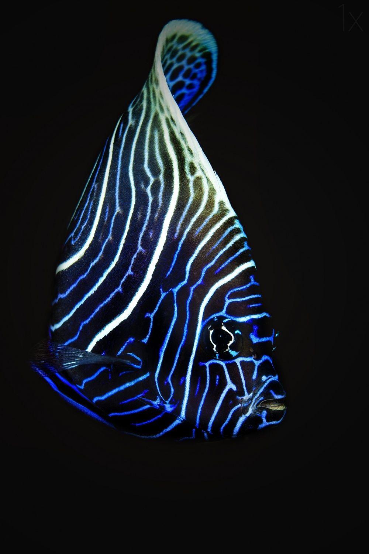 1X - Emperor Anglefish by Barathieu Gabriel