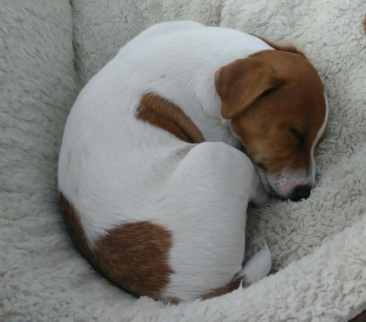 Jack Russell Terrier With Images