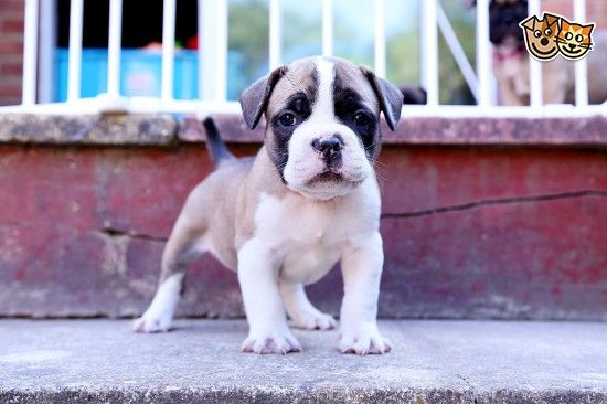 French Bulldog X Old Tyme Bulldog Puppies Puppies French