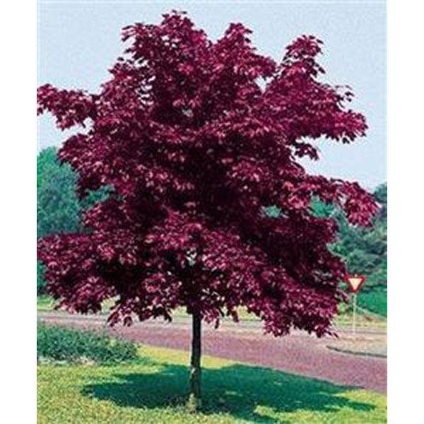 Crimson King Acero Rosso Con Immagini Alberi Da Giardino