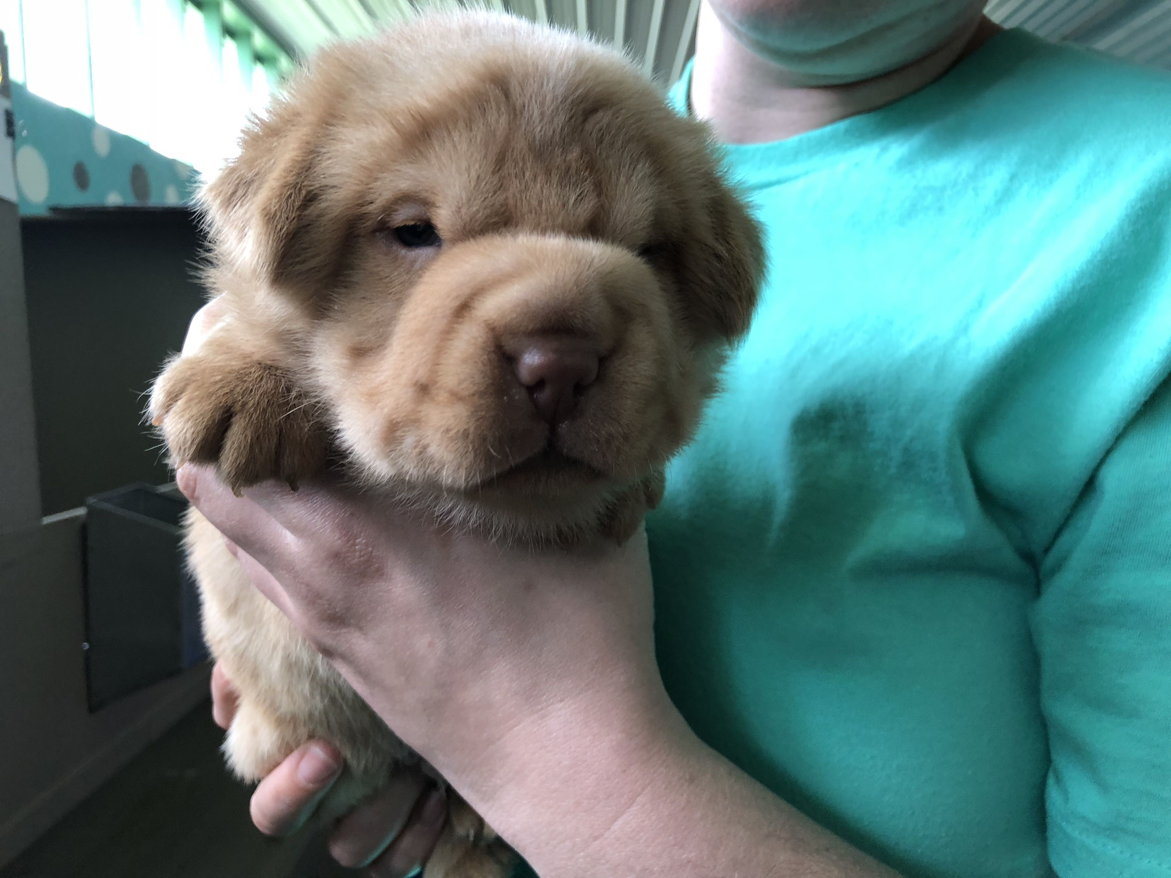Dogs And Puppies For Sale Petland Novi Michigan Puppy Store Puppy Store Lab Puppies Puppies For Sale