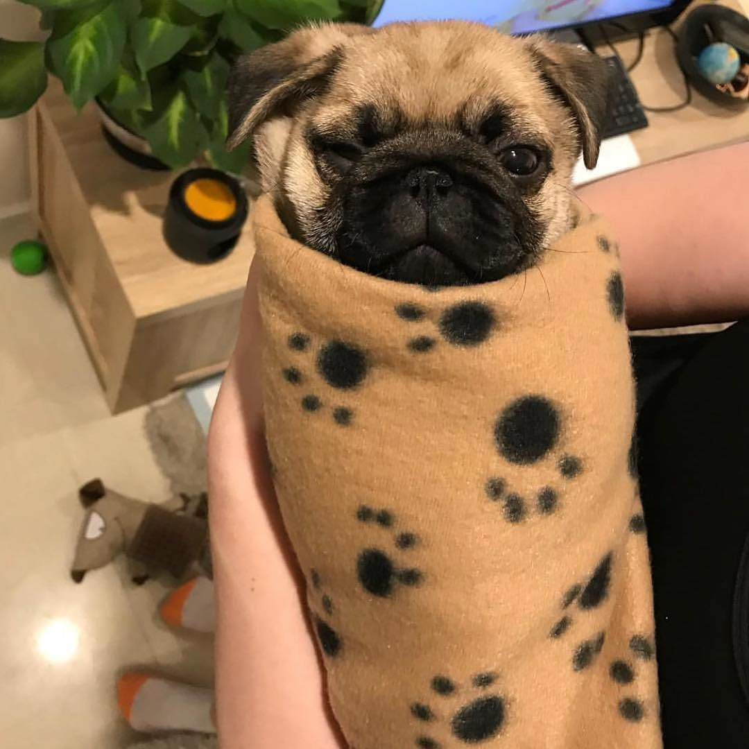Pugrito Photo By Porkypugpeanut Want To Be Featured On Our