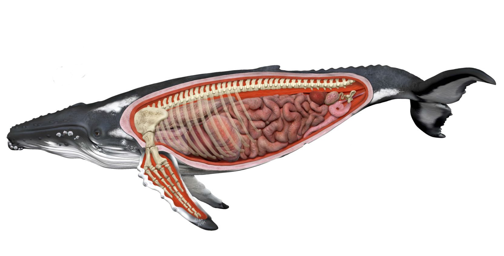 humpback whale anatomy diagram - Google Search | The Sea | Pinterest ...