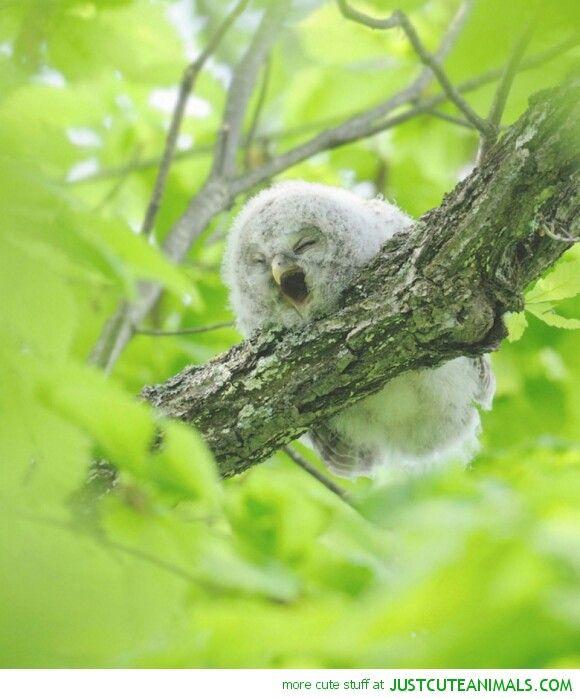 Sleepy owlet