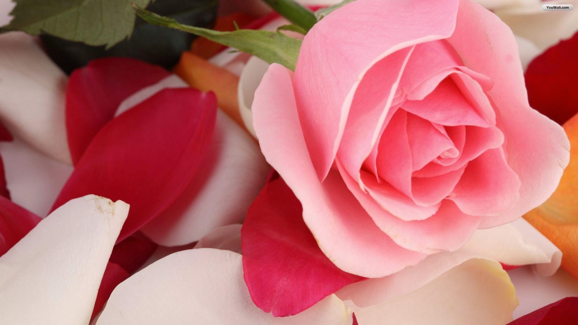 Rose Wallpaper Flower Wallpaper Pink Roses Background
