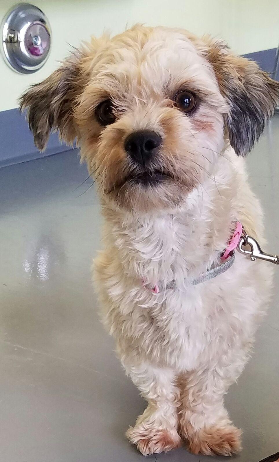 Shih Poo Dog For Adoption In Royal Palm Beach Fl Adn 542600 On