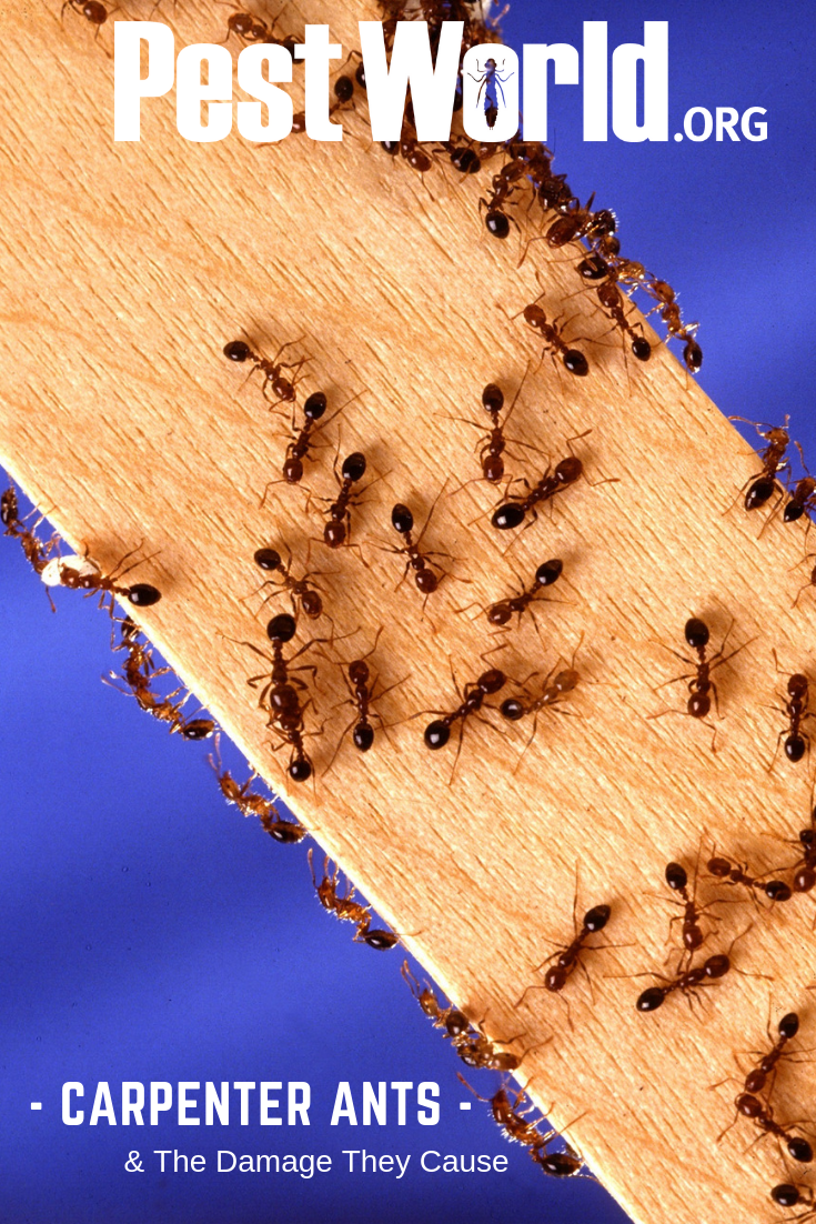 How To Get Rid Of Carpenter Ants Inside Walls