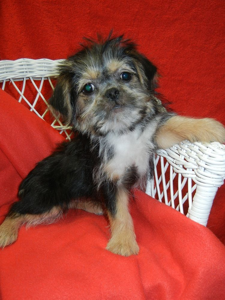 Pekingese Yorkshire Terrier Fairwood Pet Center From Our Home To Yours Puppies So Much More 425 271 9344 Www Fairw Puppies Pekingese Yorkshire Terrier