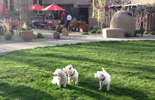 A Cute Poodle And Two Westies Play On The Lawn At Pet Friendly La