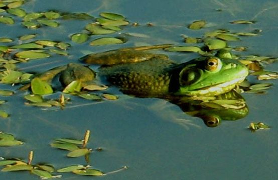 Why not build a frog pond in your backyard? :) (With ...