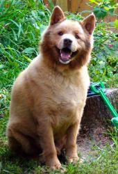 Adopt Brutus On Dogs Of The World Dogs Chow Chow Dogs