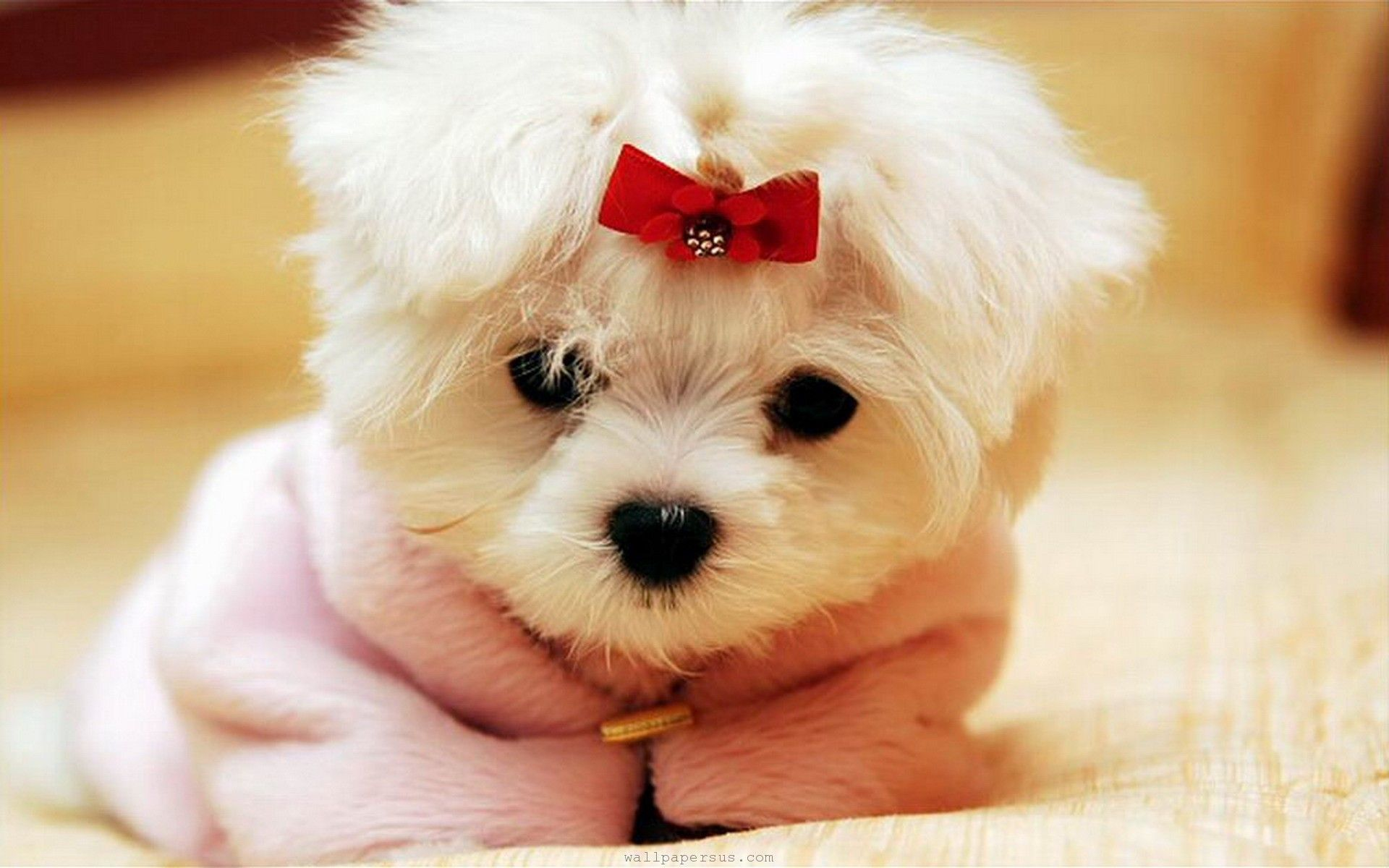 Adorable Cute Baby Animals Cute Animal Pictures Teacup Puppies Maltese