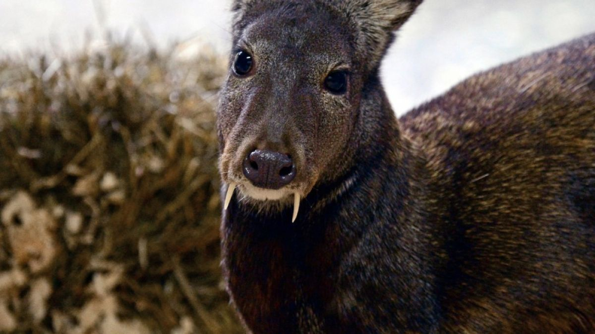 These Fanged Deer Are Real And Will Haunt Your Dreams Like Vampires