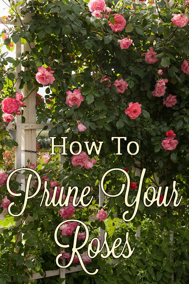 Learn how to prune roses the right way with this helpful video and