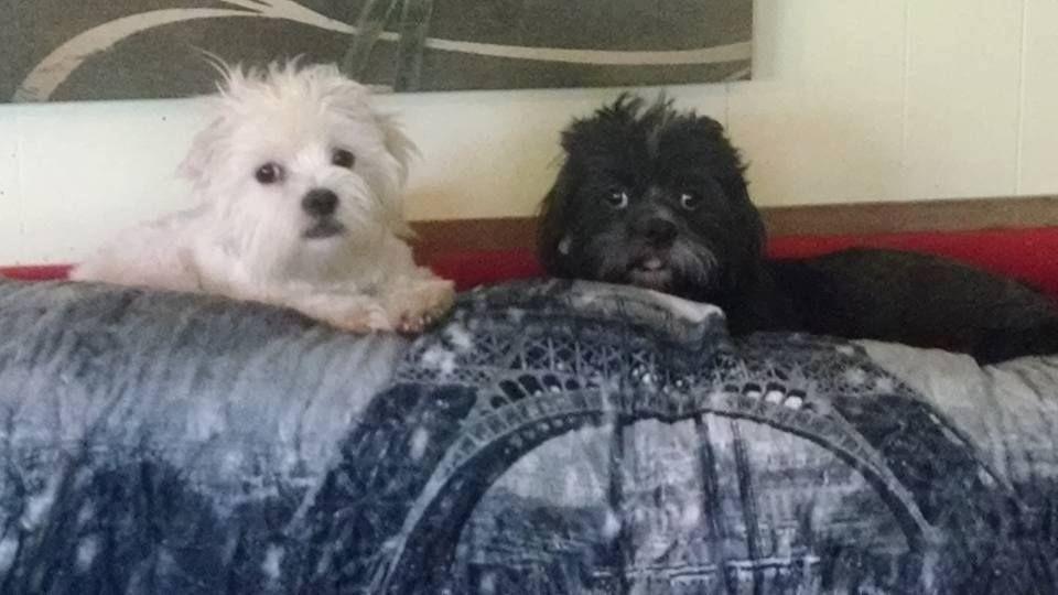 Havashu Dog For Adoption In Phoenix Az Adn 767719 On Puppyfinder