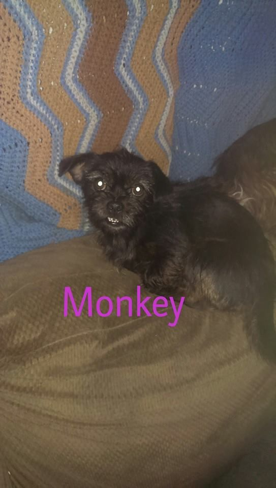 Adopt Monkey On Adoptables Shih Tzu Dog Shih Tzu Dogs