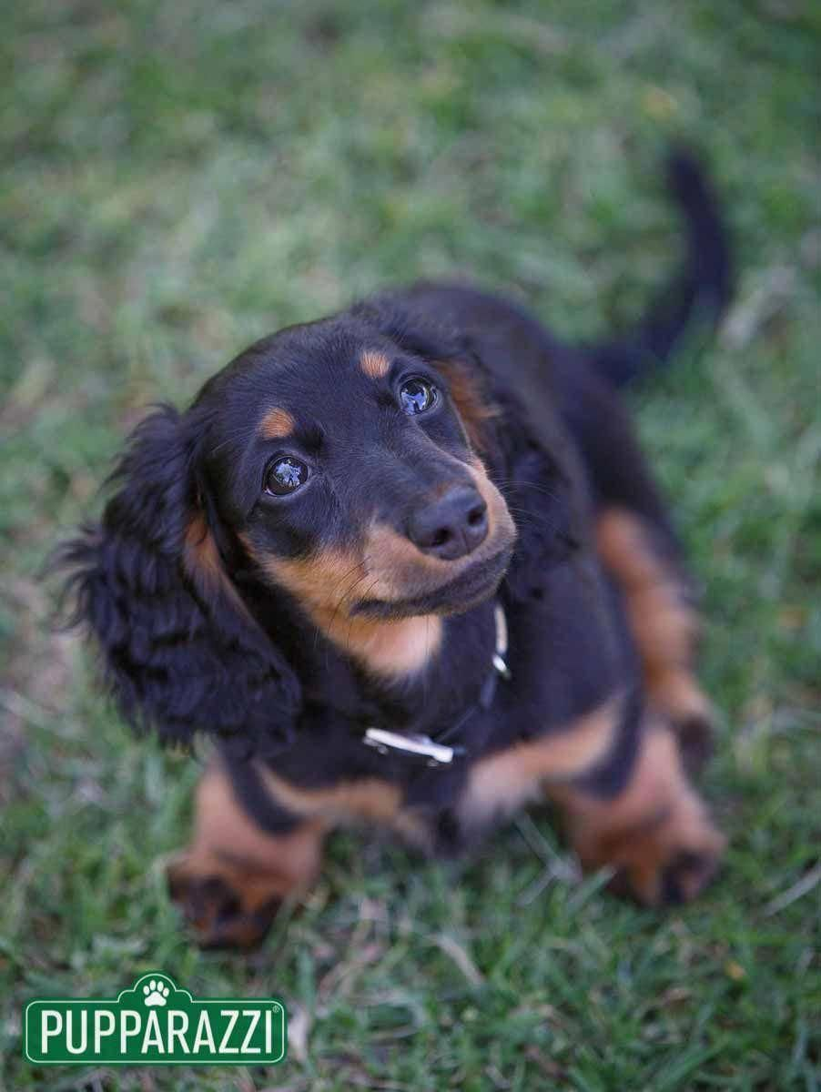 Dachshund Dapple Dachshund Long Haired Dachshund Dachshund Breed