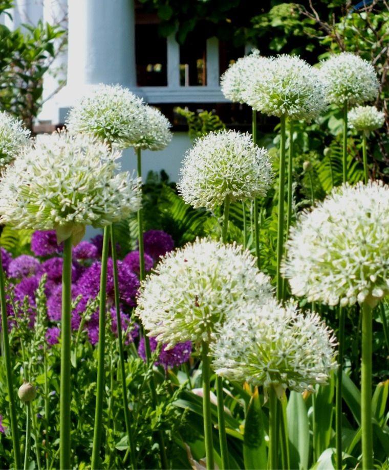 Allium stipitatum White Giant Allium Flower Bulb Index