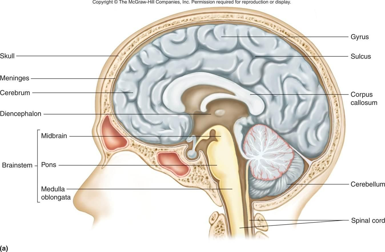 Diancephalon Google Search Nervous System Diagram Central Nervous System Brain Nervous System