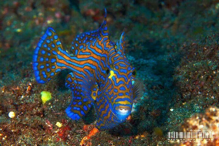 Blue Lined Trigger Fish Fish Fish Pet Animals