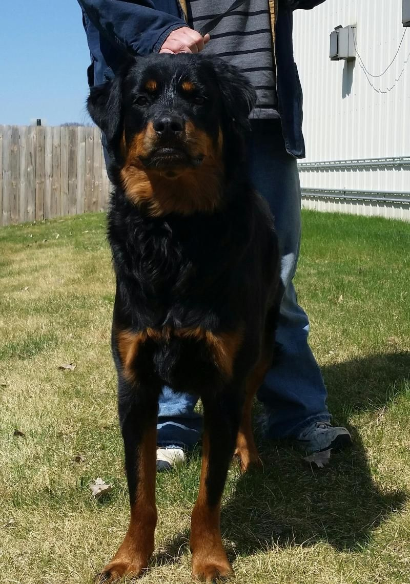 Adopt Jasmine on Rottweiler dog, Bernese mountain dog