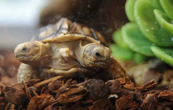 A real teenage mutant turtle? African spurred tortoise