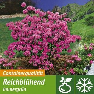 Winterbluhende Alpenrose Straucher Garten Alpenrose Winterpflanzen