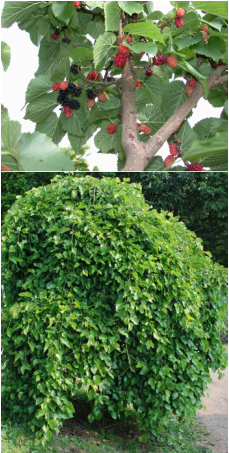 Weeping Mulberry Lower Pic People Who Keep Backyard