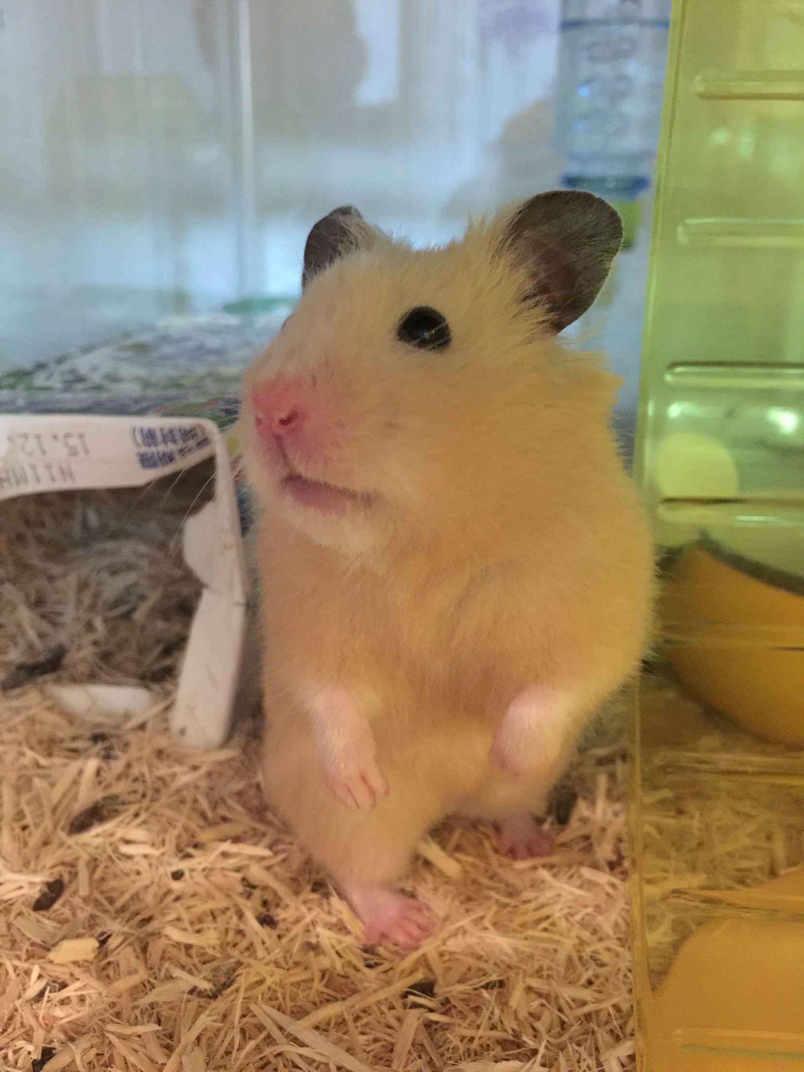 Black Eyed Cream Syrian Hamster Syrian Hamster Hamster Pets