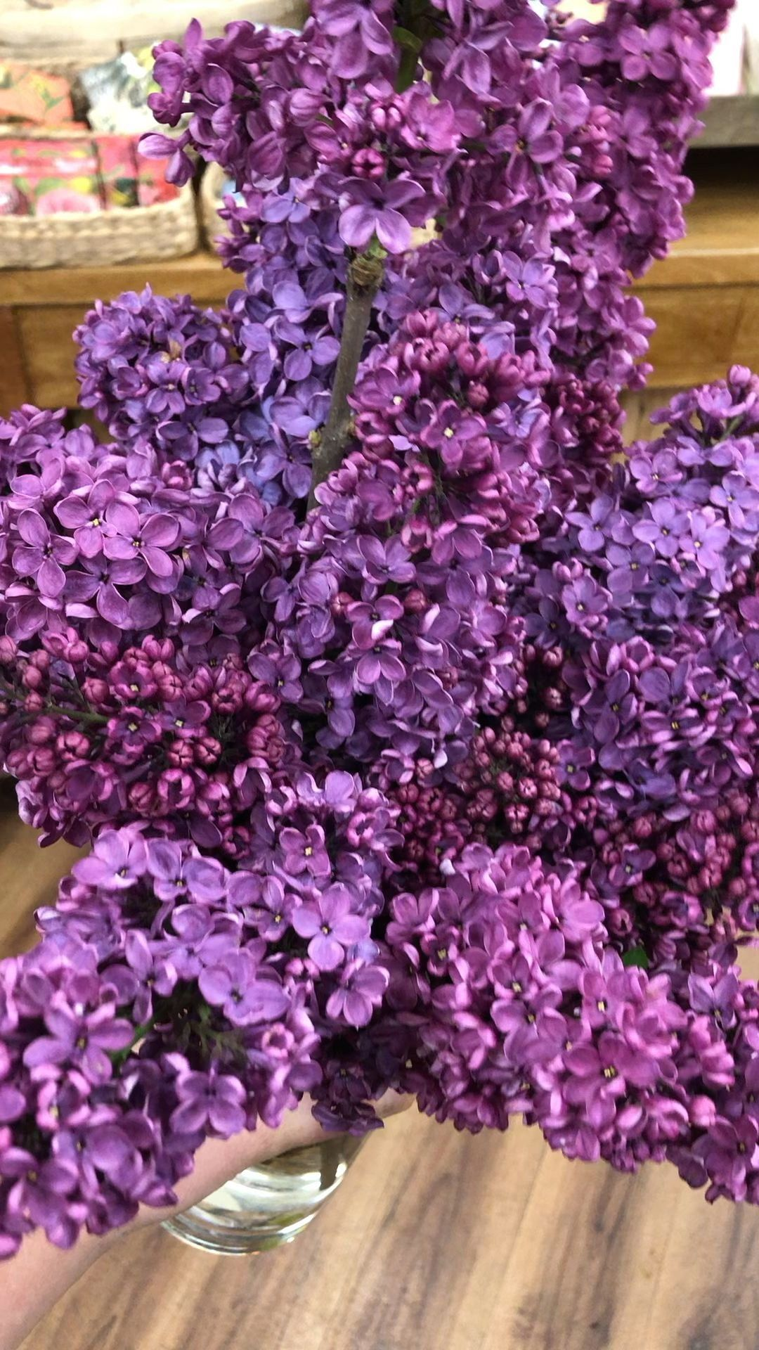 Lilac Season 1000 In 2020 Smelling Flowers Lilac Lilac Flowers