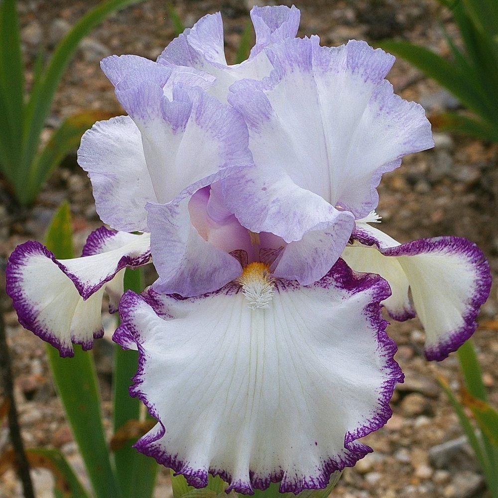 Photo of the bloom of Tall Bearded Iris (Iris 'Petticoat