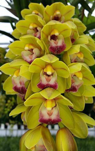 Cymbidium Paradisian Passion Orchid Flower Arrangements Unusual Flowers Growing Orchids
