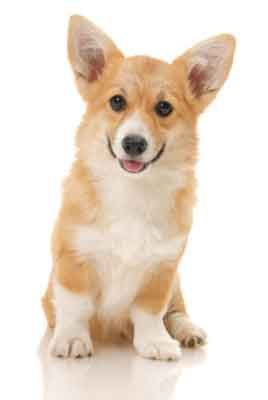 10 Things Only A Pembroke Welsh Corgi Owner Would Understand