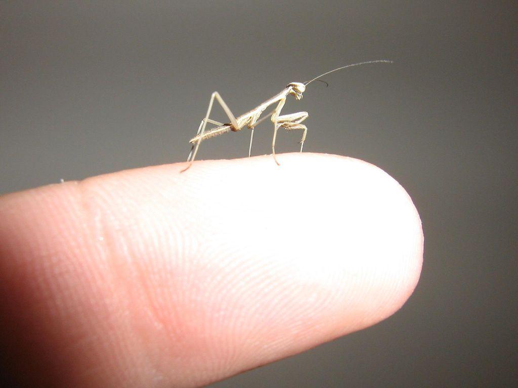 Praying Mantis As Pets Feeding Baby Praying Mantis Newly