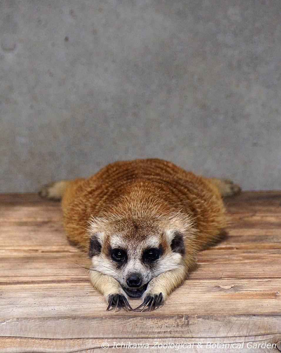 市川市動植物園 公式 On Twitter Meerkat Creatures Critter