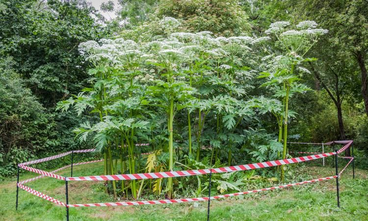 Giant Hogweed Is The Skin Burning Dna Attacking Plant Of Your Nightmares Hogweed Plant Invasive Plants Giant Hogweed Plant