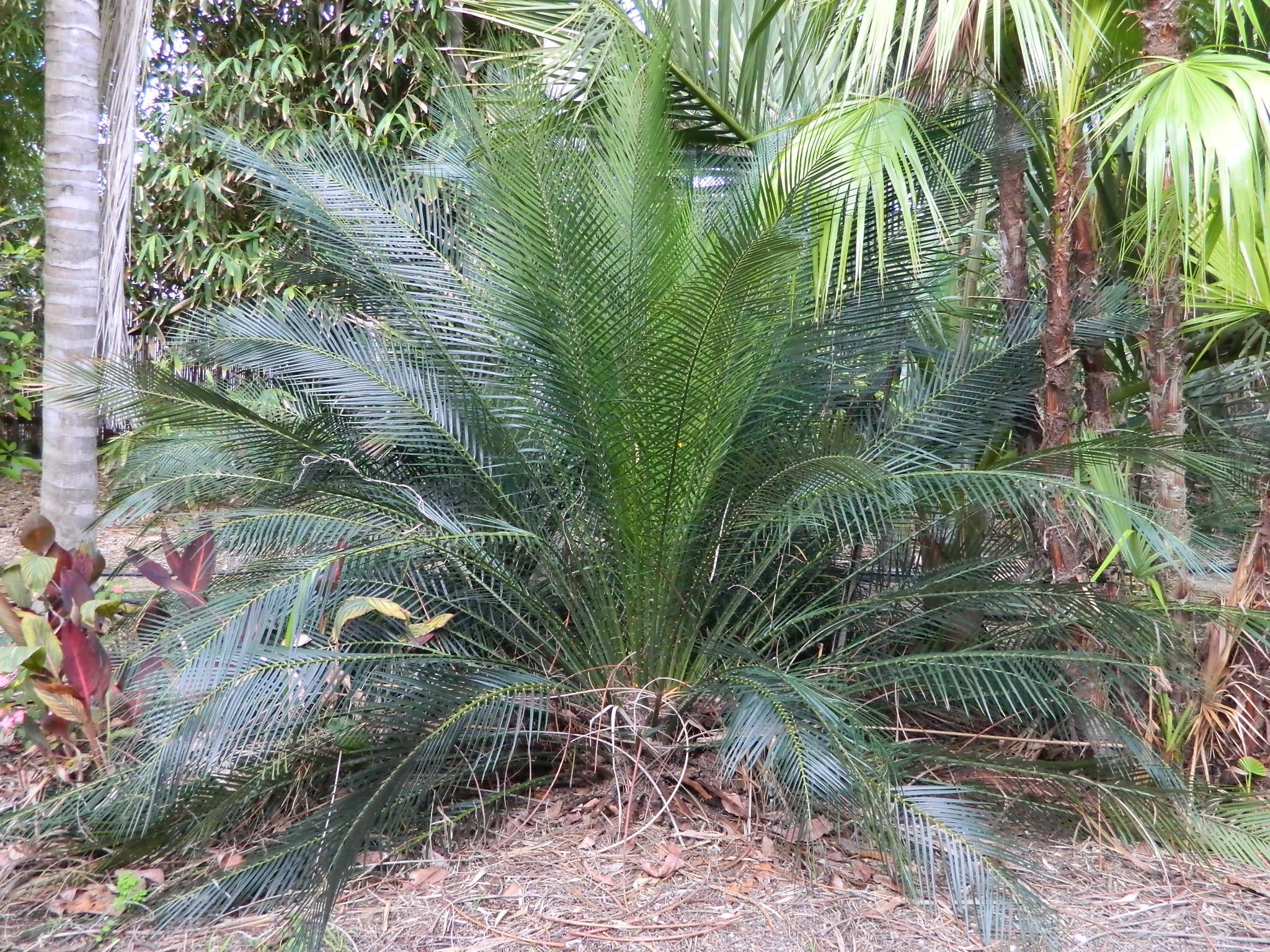Macrozamia Communis Sago Palm Plants