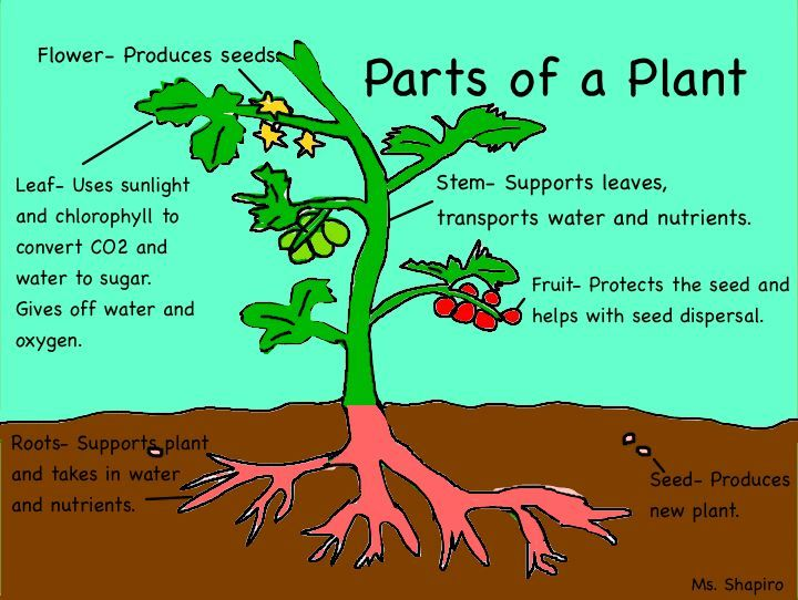 plant cell parts simple explanations | Basic parts of plant ...