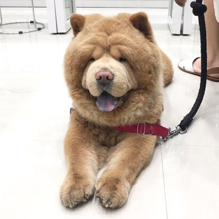 5 Things To Know About Chow Chows Chow Chow Chow Chow Mix Chow