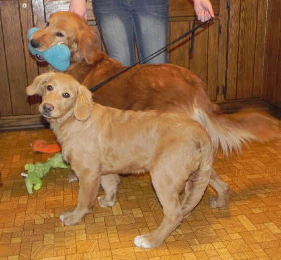 Comfort Retriever Vs Golden Retriever Miniature Golden Retriever Golden Retriever Comfort Retriever