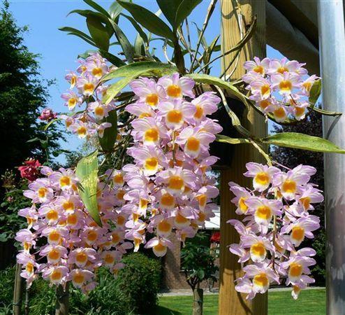 Orchidofilia orchidea dendrobium nobile come farla fiorire orquideas cactus y muchas - Orchidea da esterno cymbidium ...