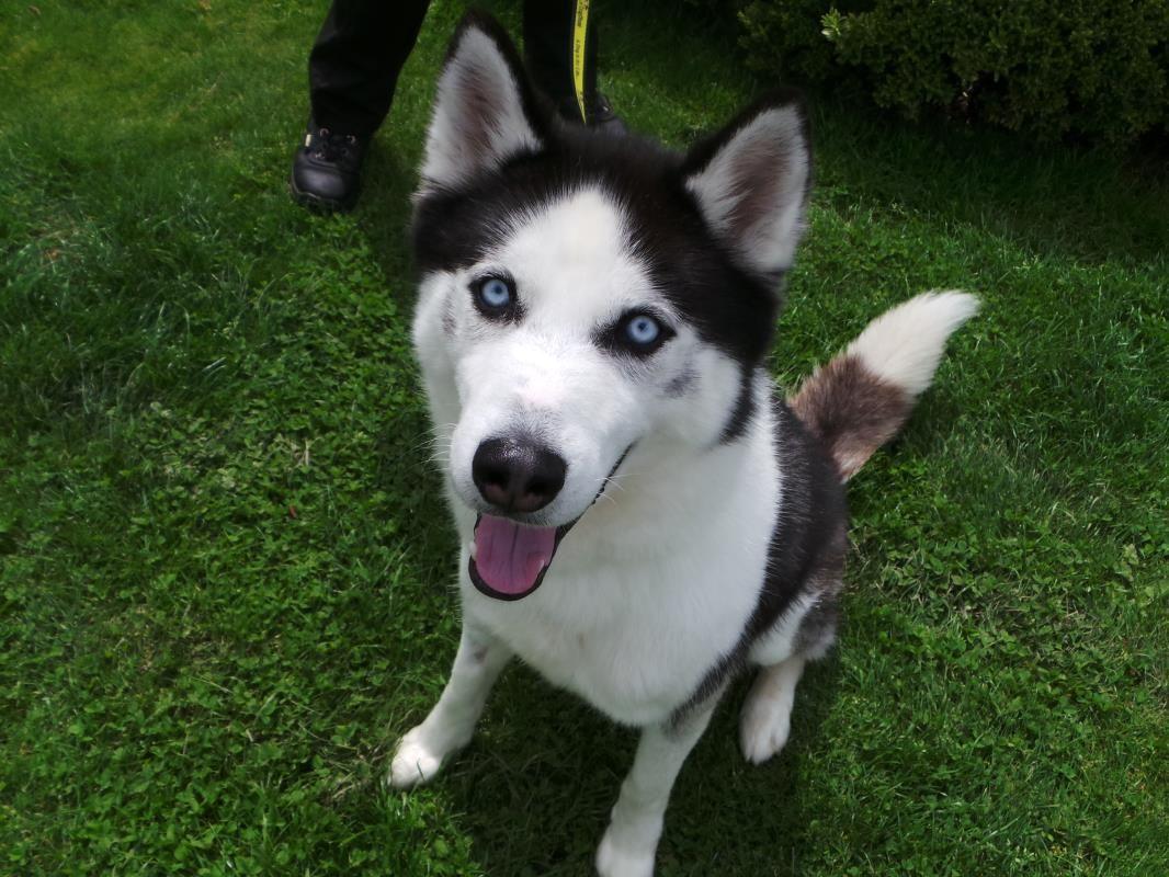 Adopt A Dog Dexter Siberian Husky Dogs Trust Dogs Dog