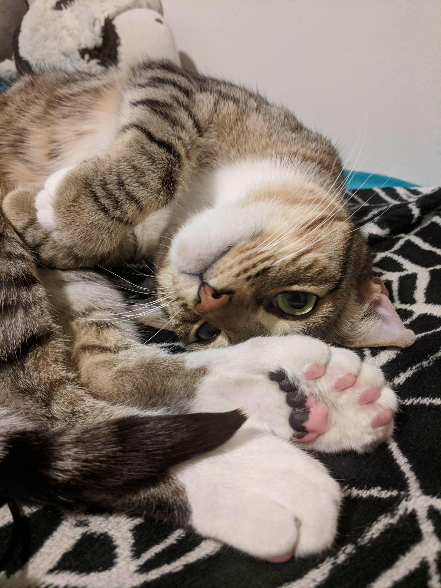 My Friend Is Taking Care Of A Kitty Who Not Only Has Extra Toes But Extra Jelly Beans As Well Kitty Cats Jelly Beans