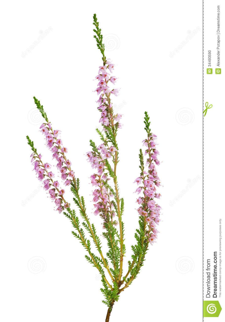 Isolated Light Pink Blossoming Heather Flowers White Background 34493590 Jpg 912 1300 Heather Flower Thistle Flower Tattoo Scottish Heather