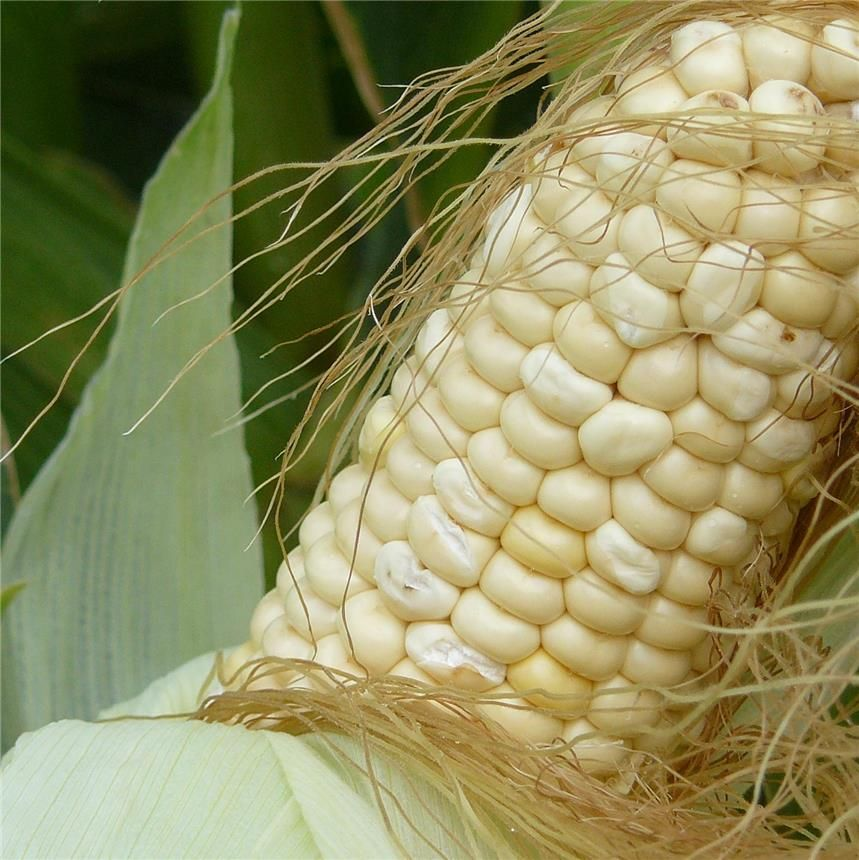 Le maïs est une plante de première importance dans la nourriture humaine et animale. En France on produit, en moyenne, 15 millions de tonnes de maïs grain par an, soit la moitié de la production de...
