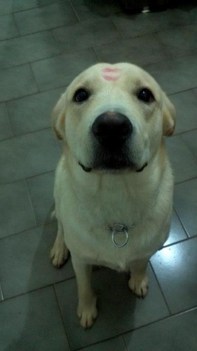Love this photo! #labrador Member photo from Labradors.com #yellow #lab