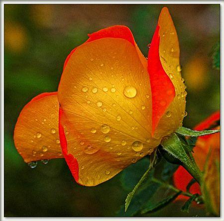 Orange Rose Flower Wallpaper